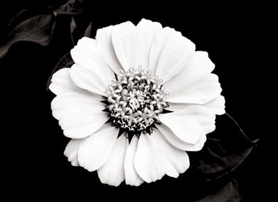 Floral Mandala - Zinnia