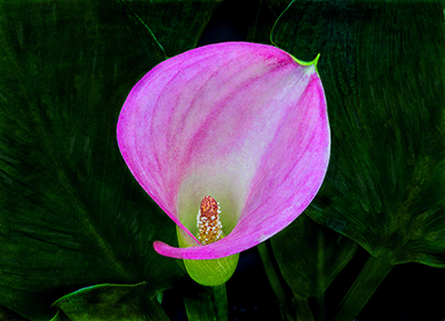 Calla Dressed In Magenta